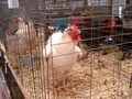 Livestock at the Great Frederick Fair - 2010.jpg