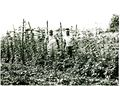 Poonie & Gerald Wade show off their tomato vines..jpg