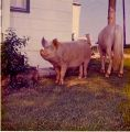 Back yard farm animals in the 1970s.jpg