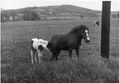 Pony and mare in a farm field.jpg