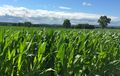 Frederick County corn field near Buckeystown in June 2015.jpg
