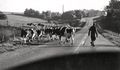 Cattle crossing. 180 going west towards Petersville.jpg